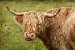 Heilan Coo! {33/52} (Sarah Ann Wright) Tags: raw iphotooriginal gettyimagescallforartists