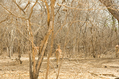 Hidden Impalas - Selous Game Reserve, Tanzania