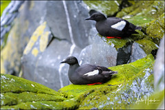 black guillemot, cepphus grylle (hakoar) Tags: beak blackguillemot cepphusgrylle finnmark norway rocks seabird tystie vardø animal beautiful bill bird black colorful cute eye fauna fisher look looking nature plumage portrait posing red resting rock white wilderness wing no cliff