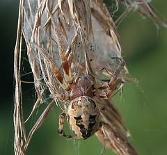 Orb Spider - Larinioides cornutus (Birds and Bugs) Tags: macro nature geotagged spiders wildlife arachnid insects british orbspider woodwaltonfen larinioidescornutus kingsdyke greatfenproject kdnr kingsdykenaturereserve geo:lat=5244265207477964 geo:lon=01933500379627306