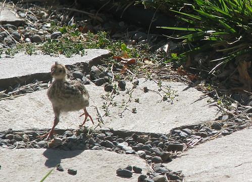baby quail 2