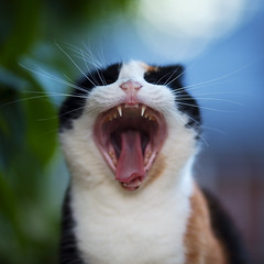 Vilma (Timo Vehviläinen) Tags: portrait animal cat mouth dof bokeh teeth 135mm kissa suu canonef135mmf2l