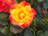 Rose on Elliot Bay (Chris Dahl1) Tags: iphone urbanpark sunsetflower