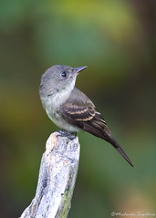 Eastern Wood-Pewee (~ Michaela Sagatova ~) Tags: bird nature dundas flycatcher easternwoodpewee contopusvirens dvca michaelasagatova