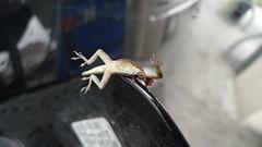 poor lil fella. pic two (tippy tippy) Tags: strange one missing tank arm scene gas lizard encounter grendel beheaded
