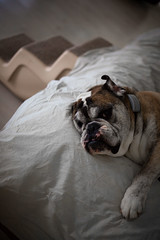 gorgeous george (dlln) Tags: pets cute animals george bulldog smushy