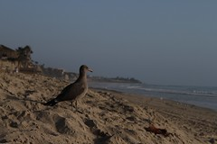( Melissa Mathies /) Tags: ocean california bird beach water digital sand waves seagull hills stupid sanclemente polarizer
