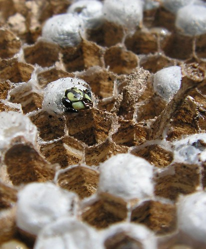 close up of an emerging wasp