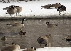 Canada vs. Cackling (Gordilly) Tags: bird nature nebraska goose omaha canadagoose brantacanadensis branta douglascounty anatidae cacklinggoose brantahutchinsii heronhaven sigma120400mmf4556apodgos t1001760