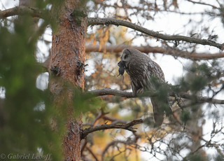 Chouette lapone Great Grey Owl  2340_DxO.jpg
