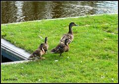 Kirkby ducks (exacta2a) Tags: liverpoolmerseyside knowsley kirkby wildlife