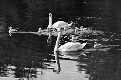 Follow Me Guys! (magaroonie) Tags: swans cygnets straitonpond midlothian 7daysofshooting week52 water blackandwhitewednesday