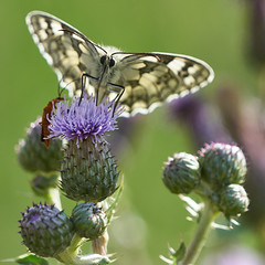 Marbled White Visited by Red Soldier Beetle (paulinuk99999 (really busy at present)) Tags: paulinuk99999 garden safari marbled white butterfly red soldier beetle insect uk summer july 2017 feeding sal70400g