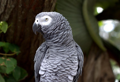Alvin (Grenzeloos1) Tags: parrot africangrey alvin maleny
