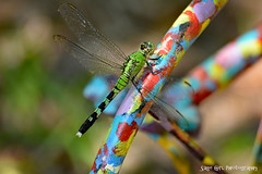 Green Dragonfly (Sage Girl Photography) Tags: green dragonfly insect bug closeup crop zoom details colorful backyard outdoors nature bokah greenblack nikond3300 sagegirl 200mm