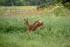Bounding escape... (Coisroux) Tags: reddeer deer scottishdeer highlands scotlanddiscovered forests fields longgrass grasses jumpingdeer bounding escaping animals wildlife nikond d5500