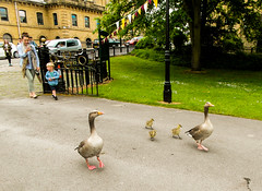 217-  Saltaire- Family of Geese going to United Reformed Church  (1 of 1) (md2399photos) Tags: 2jun17 almshouses davidhockney robertspark saltaire saltaireunitedreformedchurch saltsmill victoriahall