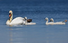 Cygnets in Tow (hd.niel) Tags: lake ontario mute swans nature wildlife cygnets