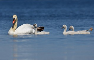 Cygnets in Tow