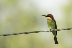 Chestnut-headed bee-eater (harisankar) Tags: chestnutheadedbeeeater beeeater bird india tamilnadu harisankar 2016 hsspublic yercaud