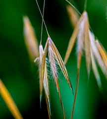 Germinating Time. (Omygodtom) Tags: macro tamron tamron90mm grass mist bokeh green bright nikkor natural nature nikon d7100 dof contrast country golden detail digital