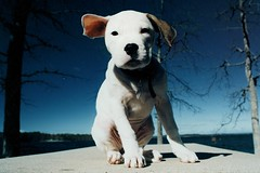 """I Come In Peace"" (MilkaWay) Tags: trees winter sky film puppy georgia table roadtrip milka americanbulldog kodak200 hartwell 2monthsold lakehartwell nikkor3570mm nikonfe10 hartcounty thelittledoglaughed thankgivingday sayawww bigoaksrecreationarea milkamonday andhaveagreatweek"