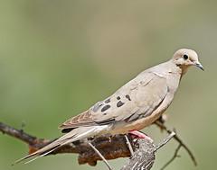 Mourning Dove (_Maji_) Tags: nikon mourningdove nikond300 ramrodranch