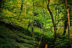 Green Wood (Dunc(an't stand this new layout!)) Tags: wood trees light green forest woodland derbyshire matlockbath densewoodland