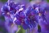 Purple dream (atranswe) Tags: nature purple sweden natur lila sverige geranium halland falkenberg middaysun lenssigma70300 johnsonsblue bokehlicious mywinners platinumphoto dsc1939 atranswe cherryontopphotography thegardengnomeaward middagssol 56°53′0″n12°30′e lizasenchantingphotogarden nikond5000 onlygoodphotographs 20100628 midsommarblomste