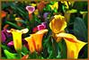 Odorama (zio paperino) Tags: flowers red orange flower green nature colors yellow geotagged nikon europa europe natura lazio ninfa naturesfinest d90 ziopaperino mygearandme mygearandmepremium mygearandmesilver mygearandmegold