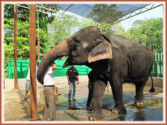 Thankful Asian Elephant (Elephas maximus) giving my hubby a gentle body wrap with its trunk, after being fed sugar-cane!
