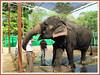 Elephas maximus (Asian Elephant)