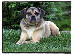 Buddy (warren.robison) Tags: dog beagle grass canon fence photography bokeh invisible pug warren puggle robison warrenrobison robisonphotography warrenrobisonphotography