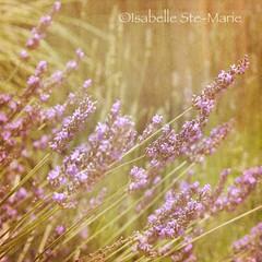 Vintage Lavender (IsabelleSM) Tags: green texture yellow vintage square purple lavender squared actions florabella