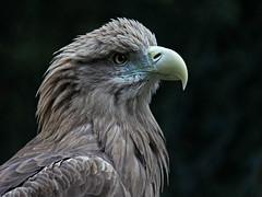 Sea-eagle - Seeadler (pe_ha45) Tags: raptor seaeagle greifvogel whitetailedseaeagle whitetailedeagle seeadler haliaeetusalbicilla pigargo pygarguequeueblanche grandaigledemer guilamarina aiglebarbu pigaroeuropeo