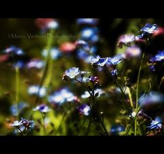 It's easy to get lost in this sea (Marco Venturin Photography) Tags: flower verde primavera colors d50 spring nikon bokeh blu fiori azzurro celeste marven72 marcoventurin