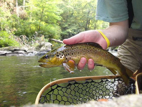 Baltimore Wild Brown Trout