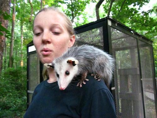 Baby possum we got to pet!