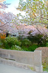 Philosopher's Walk...Kyoto...Japan (Hopeisland) Tags: road street old pink flowers plant tree nature japan cherry spring kyoto walk blossoms april sakura cherryblossoms 2010 philosophers philosopherswalk       4
