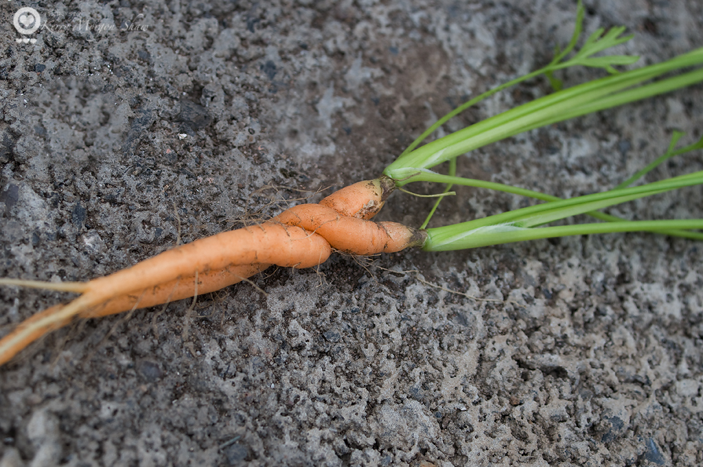 Twisted tenderness or Carrot cuddles...you decide!  184/365