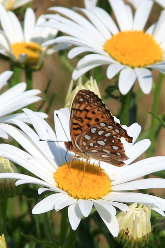 Butterflies, Flowers, and Nectar