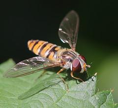 Kurze Rast / Short Break (Dieter Mler) Tags: macro insect leaf blatt insekt hoverfly schwebfliege