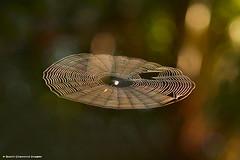 Spider Web 1. (Black Diamond Images) Tags: web spiderweb nsw raintrees diamondbeach midnorthcoast blackdiamondimages