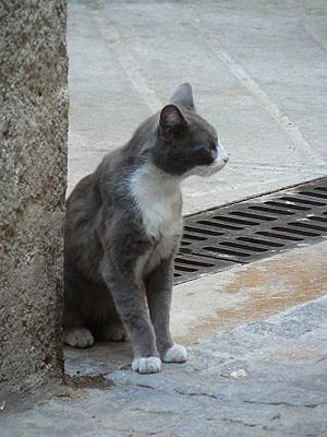 chat gris à SOspel.jpg