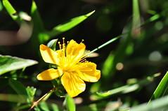 St. John's wort (daniellih) Tags: mountain plant flower green up yellow nikon dof close bokeh taiwan       nantou stjohnswort d90 hehuanshan  hypericumnagasawai