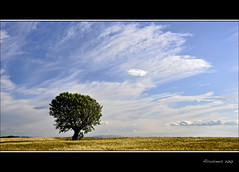 L'arbre, le ciel et le bl... (Alcosinus   ON/OFF... ) Tags: sky cloud tree nature landscape wheat ciel nuage paysage arbre champ bl arboreal justclouds nikond90 newacademy alcosinus bestofmywinners