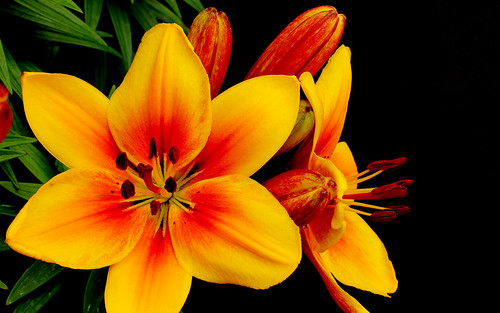 Orange Lilies on black 2