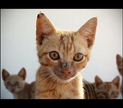 kitten (Polis Poliviou) Tags: pet animal cat mammal eyes kittens wildcat housecat domesticcat carnivore feralcat polis limassol felid invasivespecies feliscatus lemesos  flexiblebodies effectivehunters poliviou polispoliviou
