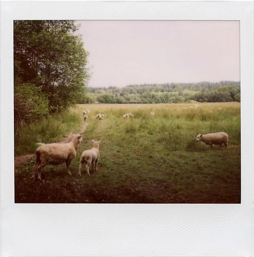 olympia: sheep