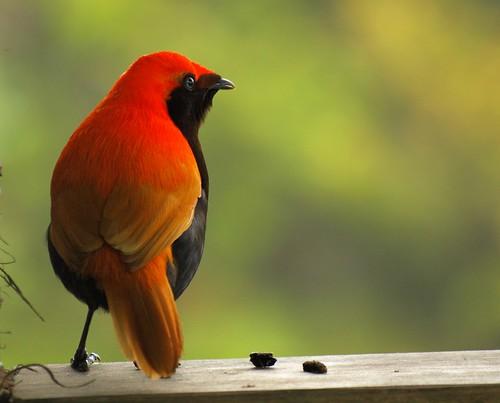 Burng Cendrawasih Loria ,Burung Cendrawasih Jambul,Burung Cendrawasih sutera